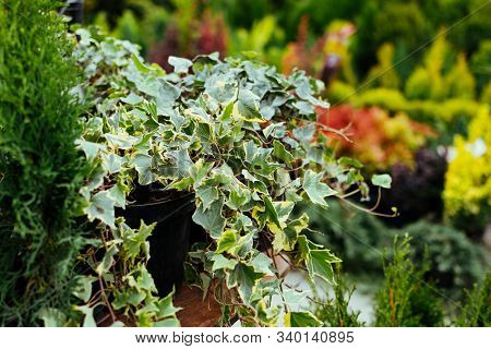 Potted English Ivy Houseplant On Garden Market, Shop. Home And Garden Decorative Ivy Plant In Pot On