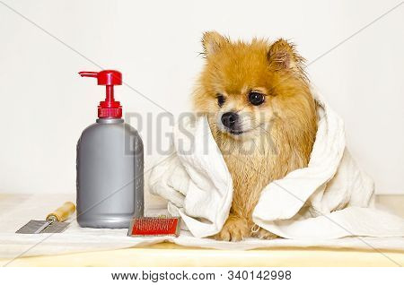 Pet Grooming Products. Pomeranian After Bath. The Fight Against Ticks And Fleas In The German Spitz.