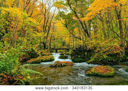Oirase River Flow In The Colorful Foliage Forest Of Autumn Season Passing The Green Mossy Rocks Cove
