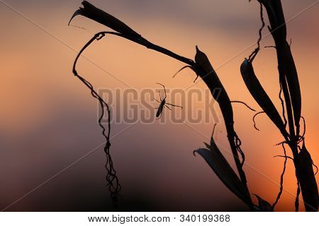 A Long-legged Spider Is Silhouetted Against The Setting Sun And An Orange Sky. Spider On The Backgro