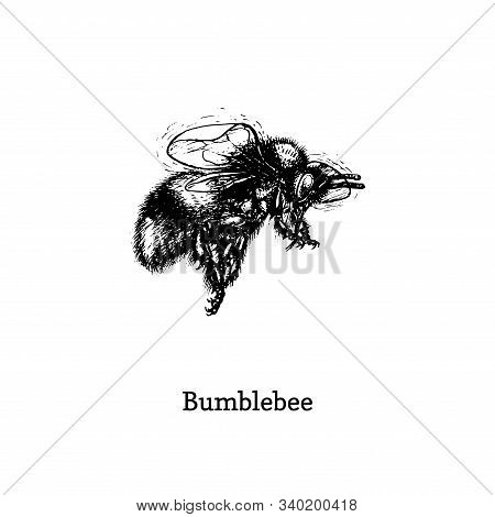 Bumblebee In Flight, Vector Illustration. Hand Drawn Sketch Of Insect In Vintage Style