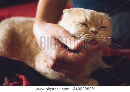 Pet Love. Owner Strokes The Cat. Male Hand Stroking Cream Scottish Fold Cat. Cat Showing Love To His