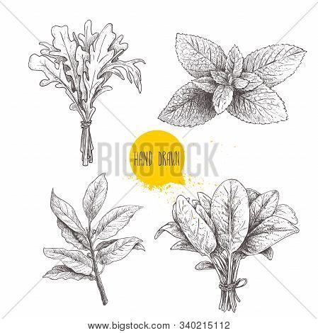 Herbs Sketch Set. Arugula, Mint Leaves, Basil And Bay Leaves. Hand Drawn Vector Illustrations. Retro