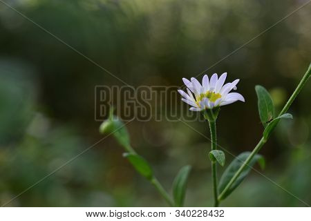 Eautiful Daisy Flower Chamomile Closeup On A Green ,bokeh Background.