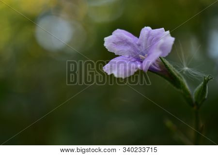 The Blossoming ,a Bokeh  Background  Of A Beautiful Purple Ruellia