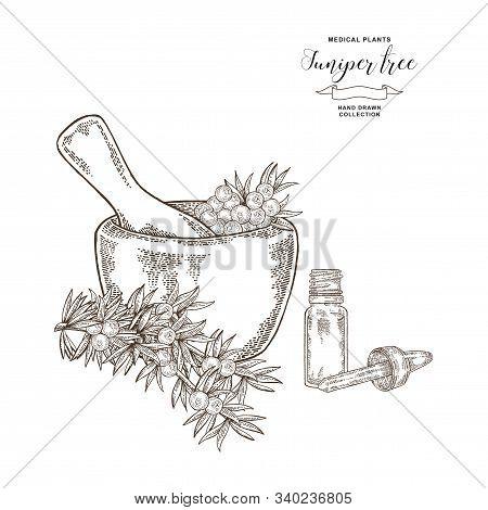 Juniper Tree Branch. Berries Of Juniper In Wooden Mortar. Hand Drawn Medical Plants. Vector Illustra