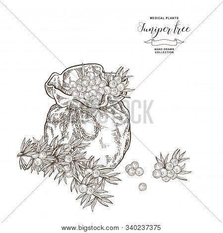 Juniper Tree Branch. Berries Of Juniper In Flax Bag. Hand Drawn Medical Plants. Vector Illustration