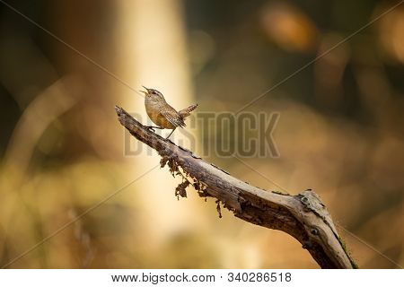 Troglodytes Troglodytes. Wild Nature. From The Life Of Birds. Beautiful Picture. Nature Of The Czech