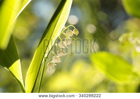 Lily of the valley in forest flowers Nature background Nature background flower Lily spring woods sun sunshine Nature background flowers Nature background macro close-up fresh Lilly Nature background Nature background outdoor flowers Nature background.