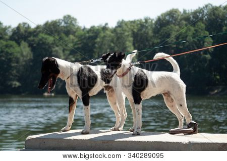 Two Dogs Of A Breed Of A Smooth-haired Fox-terrier Of A White Color With Black Spots Stand Parapet N