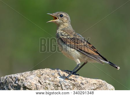 Northern Wheatear posing on big rock with open beak being thirsty or calling loudly poster