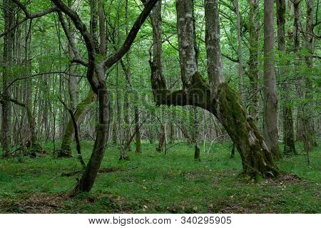 Natural Deciduous Stand In Summer