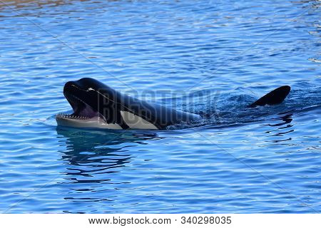 Portrait Of A Killer Whale (orcinus Orca) Swimming In The Water During A Whale Show