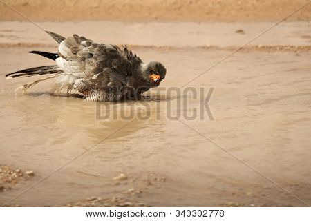The Southern Pale Chanting Goshawk (melierax Canorus) Is Bathing In A Small Puddle In Kalahari Deser