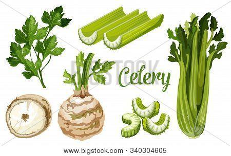 Celery Vegetable, Vector Celeriac Plant Stalk, Leaf And Tuber Root. Organic Farm Veggie And Vegan Ce