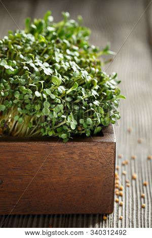 Close-up Of Mustard Microgreens, Green Leaves And Stems. Sprouting Microgreens. Seed Germination At