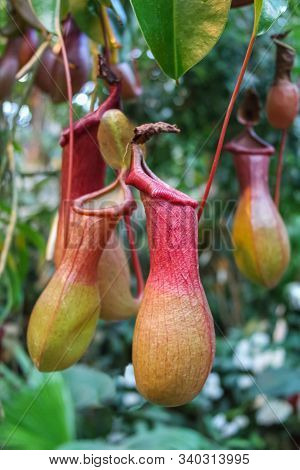 A Bush Of A Carnivorous Plant Pitcher (nepenthes) In The Wild, Close-up.