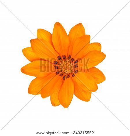 Gazania Yellow Orange Bright Beautiful Flower Isolated On White. Flower Of The Family Asteraceae Gaz
