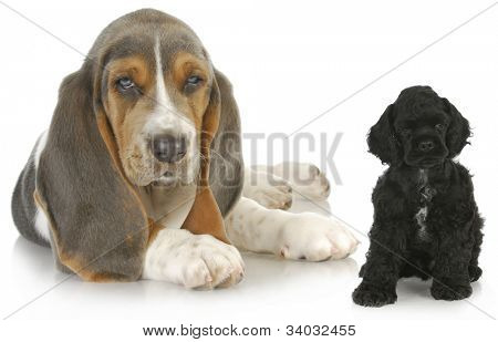 two puppies - basset hound and american cocker spaniel puppy - both eight weeks old