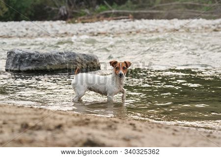 Small Jack Russell Terrier Walking In Shallow Water Near River Shore, Looking To Camera, Side View