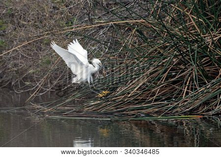 Ellegant Snowy White Egret Has Wings Stretched Wide As It Approaches Pond Vegetation To Safely Land