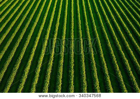 Aerial top view of row blackcurrant bushes in sunny day. Location rural place of Ukraine, Europe. Agricultural land in springtime. Drone photography. Concept of agrarian industry. Beauty of earth.