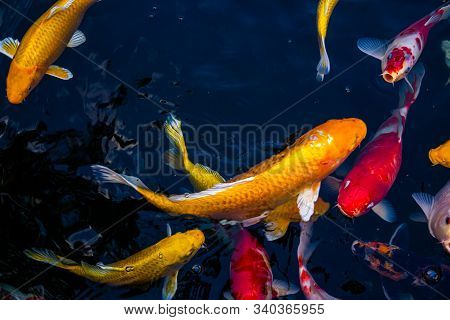 Japan Koi Fish Swimming In A Water Garden,fancy Carp Fish,koi Fishes,koi Fish Swim In Pond.isolate B