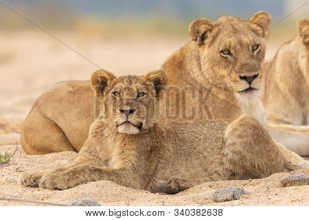 Young Sub Adult Lion Cub And His Mother, Lying In A River Bed, Kruger Park, South Africa
