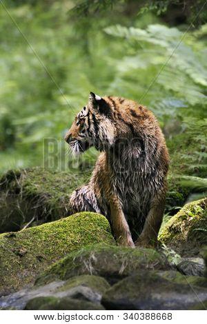 The Siberian Tiger (panthera Tigris Tigris), Or  Amur Tiger (panthera Tigris Altaica) In The Forest