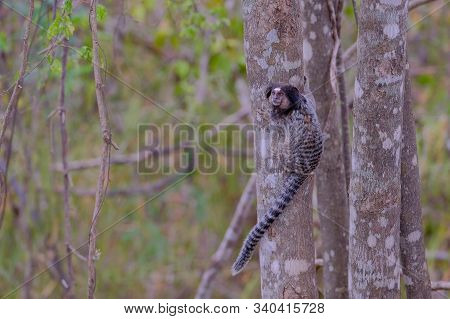 Black Tufted Marmoset, Callithrix Penicillata, Sitting On A Branch In The Trees At Poco Encantado, C