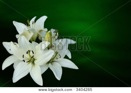 White Lilies On Green Background
