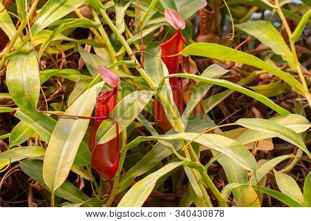 Nepenthes Predatory Plant, Two Red Jugs, A Jug Of Fresh Natural Carnivorous Tropical Plant Nepenthes