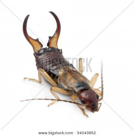 Common earwig or European earwig, Forficula auricularia against white background