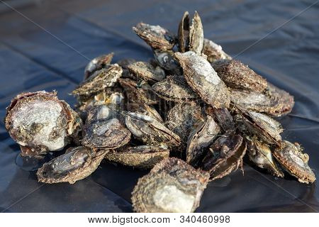 Heap Of Cultured Oysters To Search For Pearls