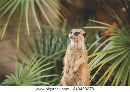 Meerkat On Hind Legs. Portrait Of Meerkat Standing On Hind Legs With Alert Expression. Portrait Of A