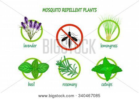 Mosquito Repellent Plants Infographic Isolated On White Background.   Plants To Use As A Natural Mos