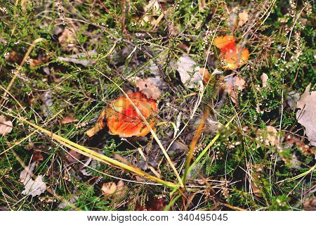 A Pair Of Inedible Toxic Mushrooms Of Fly Agaric In The Natural Environment, Autumn Forest, Green Mo