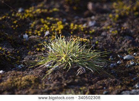 Macrophoto Of Deschampsia Antarctica, The Antarctic Hair Grass, One Of Two Flowering Plants Native T