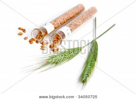 Wheat Seed In Glass Test Tubes With Plant Of Green Wheat Spikes