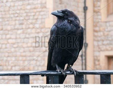 Raven At The Tower Of London. Closeup Portrait Of Sitting Black Raven In Tower Of London, Uk. Raven