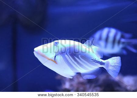 Beautiful Picassofish Swimming In Clear Aquarium Water