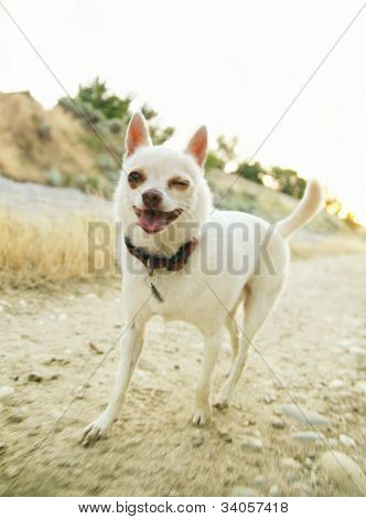 a tiny chihuahua walking on a canal bank winking his eye poster