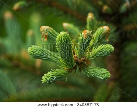 Sprig Of Young Spruce. Nature Of Leningrad Region.