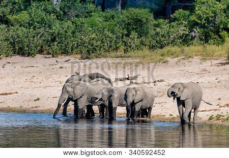Herd Of African Elephant Loxodonta On Waterhole In Game Reserve Bwabwata, Caprivi Strip, North Namib
