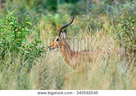 Impala Antelope Male, Aepyceros Melampus, Hiding In Bush, Caprivi Strip Game Park, Nambwa Namibia, A
