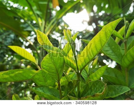 Guava Leaves - Fresh Guava Leaves, Young Guava Leaves, Close-up Details Of Guava Leaves.green Guava