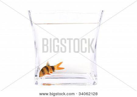 Chromobotia Macracanthus Fish (clown Loach)