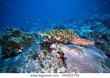 Tomato Grouper With Coral At Similan Islands Thailand