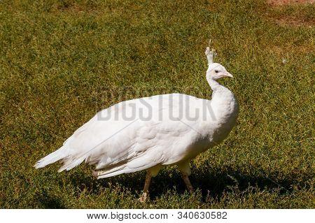 White Peafowl Or Indian Peafowl (pavo Cristatus)