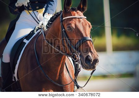 Portrait Of A Beautiful Bay Horse, Dressed In Sports Gear For Dressage And With Rider In The Saddle,